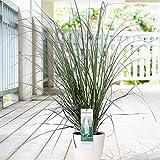 Cortaderia selloana'Evita' | Pampasgras Weiss | Ziergräser Winterhart | Höhe 50-80 cm | Topf-Ø 14 cm