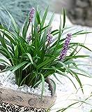 Liriope muscari'Ingwersen' | Lilientraube Pflanze | Lila Blüte | Gartenpflanzen Winterhart | Höhe 30-60cm | Topf-Ø 14cm