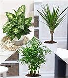 BALDUR Garten Luftreinigender Zimmerpflanzen-Mix 'Fresh Air', 3 Pflanzen Dieffenbachie, Dracena Drachenbaum und Chamaedorea Palme je 1 Pflanze Zimmerpflanzen