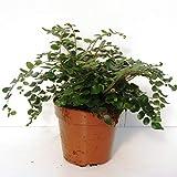 Rundblättriger Pellefarn 25 cm - Pellaea rotundifolia - Zimmerfarn