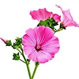 Fnho Mehrjährig Blumen,Blumensamen für Bienen,Farbige Okra-Blume, Landschaftsblume Seeblume-0,5 kg