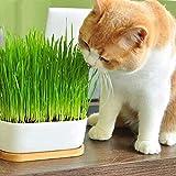 100Pcs Cat Grass Seeds Hausgarten Für Mehrjährige Kräuter Bonsai Pflanze Balkon Dekoration Katzengrassamen