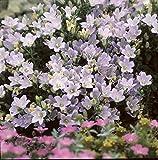 Glockenblume   Campanula 'Ambella Pink' pro 3 Stück - Freilandpflanze im Anzuchttopf ⌀10,5 cm - ↕15-20 cm