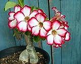 Tropica - Sukkulenten - Wüstenrose (Adenium obesum) - 8 Samen