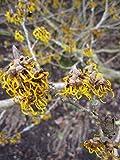 Hamamelis intermedia Allgold - Zaubernuss Allgold