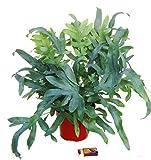 Phlebodium 'Blue Star' - Blaufarn Zimmerpflanze