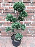 Garten-Bonsai, Formpflanze, Chamaecyparis obtusa Drath (Höhe: 140-150 cm) + Düng