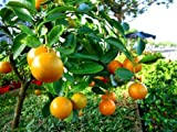 Alick 40 süße Kumquat-F