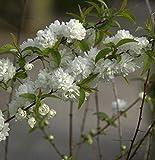 Chinesische Zwergkirsche 40-60cm - Prunus g