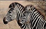 Fototapete 3D Effekt Tapete Schwarzweiss-Zebra-Wildtierfotografie-Nahaufnahme 300X210Cm Fototapete Vlies Tapeten Wand Wallpaper Dekoration