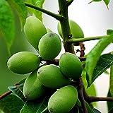 20 Stück Olivensamen Für Die Rasenbepflanzung Im Freien Starke Vitalität Die Sich An Verschiedene Lebensumgebungen Anpasst Ist Ideale Bäume Für Blumenbeete