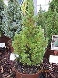 Picea glauca conica perfecta - Zwerg-Zuckerhutfichte Conica Perfecta