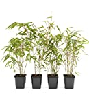 4 Stk. Bambus Fargesia rufa winterhart, immergrün und schnell-wachsend, 30/40 cm hoch, im Topf (4)