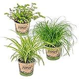 3er Set Haustierverträgliche Zimmerpflanzen | Katzengras, Grünlilie & Kriechende Schönpolster | ⌀12 cm -20-25