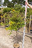 Prunus Okame - Zierkirsche Okame
