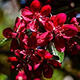 Oce180anYLVUK Flieder Samen, Blumen, Wiesensamen 100 Stück Beutel Flieder Samen Super Red Georgic Perennial Red Clove Seeds Flieder Samen