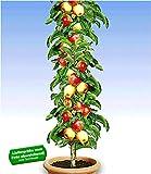 BALDUR Garten Säulen-Apfel 'Braeburn', 1 Pflanze Apfelbaum M