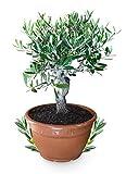 Meine Orangerie Olivenbaum Bonsai - echtes Olivenbäumchen - Olea Europaea - Olive Tree - altes Olivenstämmchen in 25cm-Schale - Bonsai Olive mit dickem Stamm - Olivenbaum echt - Bonsai Baum