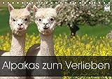 Alpakas zum Verlieben (Tischkalender 2021 DIN A5 quer)