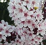Zwergblutpflaume, Prunus cistena, 60-80cm, mehrtriebig, im Topf