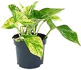 Fangblatt - Epipremnum pinnatum'Marble Queen' - gefleckte Efeutute im Ø 12 cm Topf - wundervolle Grünpflanze für Ihre Wohnung