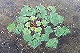Wasserpflanzen Wolff - Trapa natans - Wassernuß - aktiver Naturschutz! - Wasserpflanze des Jahres 2011