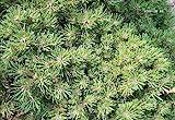 Zwergkiefer Pleszew - Pinus mugo Pleszew 20-25