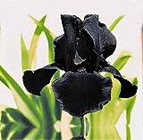 3Stücke Irisbirnen Geheimnisvolle schwarze Blumen geeignet für die Dekoration von Innenhofräumen einfache Kultivierungsmethoden im Innen und Außenbereich kältebeständige Stauden