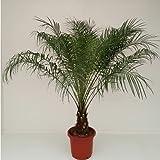 [Palmenlager] Phoenix roebelenii - Zwergdattelpalme 100 cm - Stamm 10 cm // Indoor- und Outdoorpalme