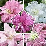 10 Orientalisch Lotus Lilien Zwiebeln Kollektion, 5 duftend Sorten, 2 von jeder Farbe, Mehrjährig und Winterhart Blumenzwiebeln Lilien Mix (kein Samen), Mischung aus Holland für G