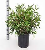 Blume von Botanicly – Zylinderputzer – Höhe: 60 cm – C