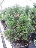 Bosnische Zwergkiefer Irish Bell - Pinus leucodermis Irish B