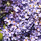 Müllers Grüner Garten Shop Zwerg Sommerflieder Buddleja davidii Lilac Chip® lila-rosa blühend duftend Bienenweide