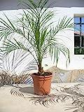 Zwerg-Dattelpalme, Phoenix roebelenii, ein Pflanze/Palme ca. 65-75