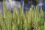 4er-Set im Gratis-Pflanzkorb - winterhart - Hippuris vulgaris - Tannenwedel - Wasserpflanzen Wolff