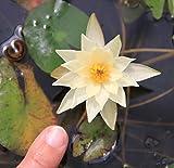 Wasserpflanzen Wolff - im Pflanzkorb - Nymphaea Pygmaea 'Helvola' - Zwergseerose, gelb