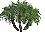 Zwergdattelpalme 10 Samen -Phoenix roebelinii- -Tolle Zimmerp