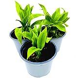 Bärlauch Pflanze Allium ursium von Florapartner Kräuter Pflanzen 2stk