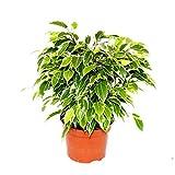 Exotenherz - Buschige Birkenfeige - Ficus benjamini'Kinky' - weißbuntes Laub - 12cm Topf