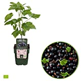 Ribes nigrum'Titania'   Johannisbeeren Strauch Bio   Johannisbeeren Pflanzen   Beerenobst Pflanze   Höhe 30-60 cm   Topf-Ø 13