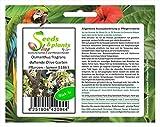 Stk - 5x Osmanthus fragrans duftende Olive Garten Pflanzen - Samen B1863 - Seeds Plants Shop Samenbank Pfullingen Patrik Ip