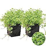 Gemeiner Pennywort | Hydrocotyle 'Variegata' 2x - Teichpflanze & Sauerstoffpflanze im Aufzuchttopf cm11 cm - 15 cm