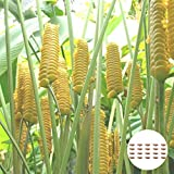 Oce180anYLVUK Calathea Crotalifera Samen, Blumen, Wiesensamen, 20 Stück/Beutel Vitalität Dekorative Calathea Crotalifera Samen Calathea Crotalifera Sämlinge Samen