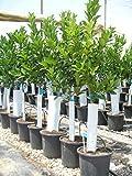 Orangenbaum, Citrus - sinensis naranjo, Verschiedene Sorten ca. 130-150