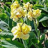 Pflanzen Sie jetzt,Zierpflanzen,Canna Glühbirnen,Blühende Pflanze,Gartenbepflanzung,Begrünung,Schnittblumen-7 Zwiebeln