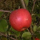 Elstar Apfel Apfelbaum Obstbaum 120/150 cm Busch 2-jährig im 7,5 L Top