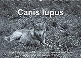 Canis lupus (Wandkalender 2022 DIN A2 quer)