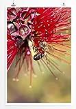 Eau Zone Home Bild - Naturbilder – Roter Zylinderputzer mit Honigbiene- Poster Fotodruck in höchster Q