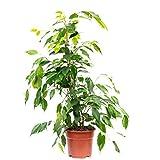 Birkenfeige 'Forever' - Ficus benjamini - Höhe ca. 75 cm, Topf-Ø 17 cm