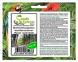 Stk - 10x Dendrocalamus giganteus Riesenbambus Garten Pflanzen - Samen B1181 - Seeds Plants Shop Samenbank Pfullingen Patrik Ipsa